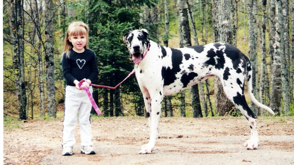 harlequin great dane colorful dog breed
