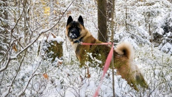 Meet the Akita: Gentle Giant, Ancient Breed