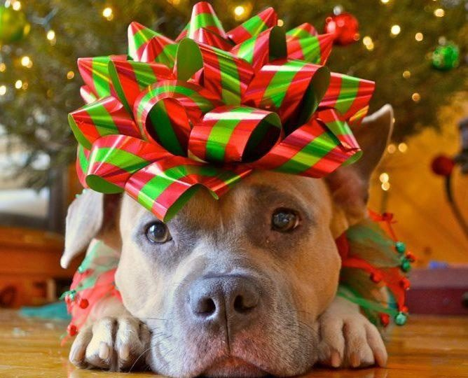 giving a puppy as a gift the right way to do christmas puppies