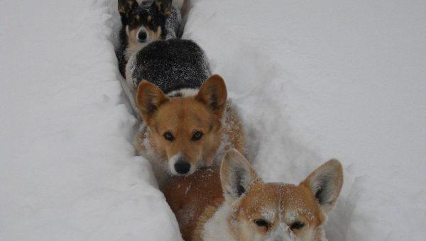 Get on the Corgi Snow Train—Plus 6 More Corgis Having a Snow Day Blast [Video]