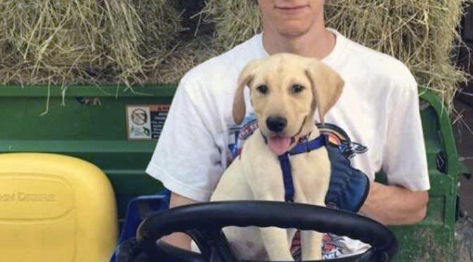 farm dog labrador