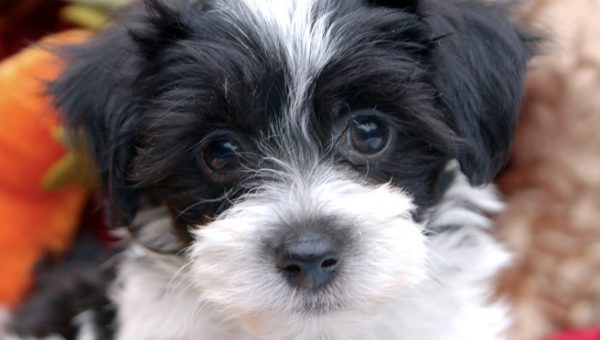 Meet the Havanese: Luscious Locks and Cuddles for Miles