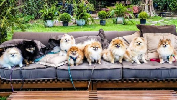 9 Perfect Pomeranian Packs Because You Can't Have Just One