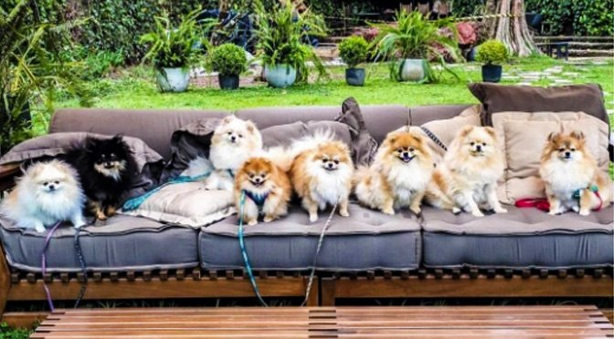perfect-pomeranian-packs