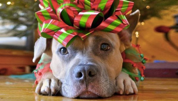 pitbull-christmas-presents