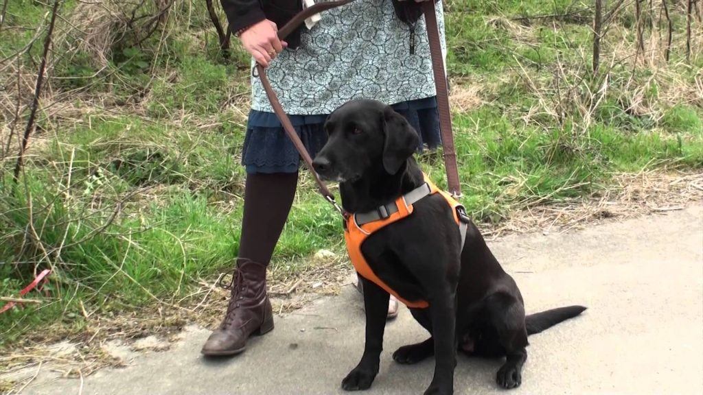 Best Harnesses for Labs | Top 5 Picks for Lador Retriever ...