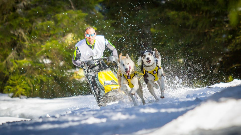 How To Train A Sled Dog To Pull