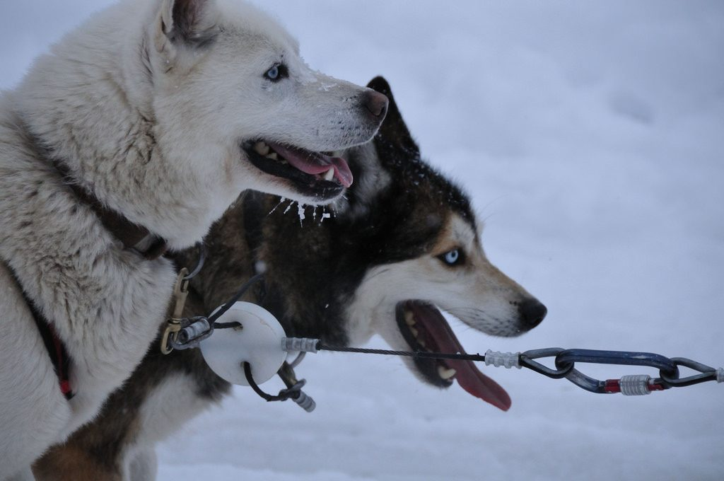 Two huskies hitched to a sled take a break in the snow.