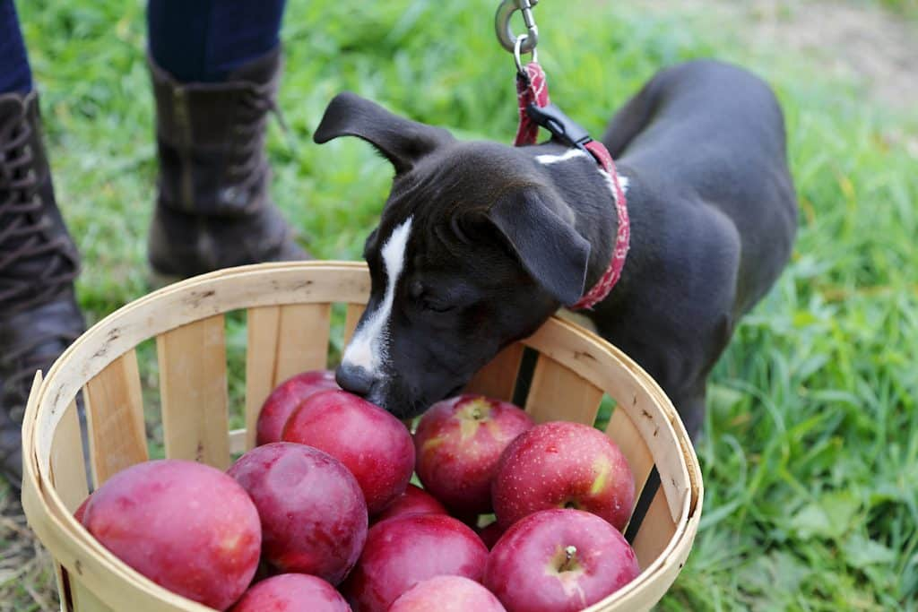 can my dog eat apples