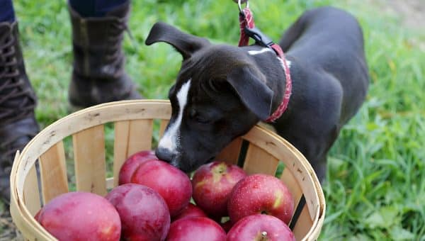 Can My Dog Eat Apples?: Your Complete Guide to Safely Sharing Apples with Your Pet