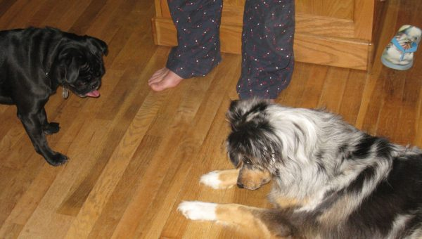 Laser Pointers and Dogs: a Potentially Dangerous Mix