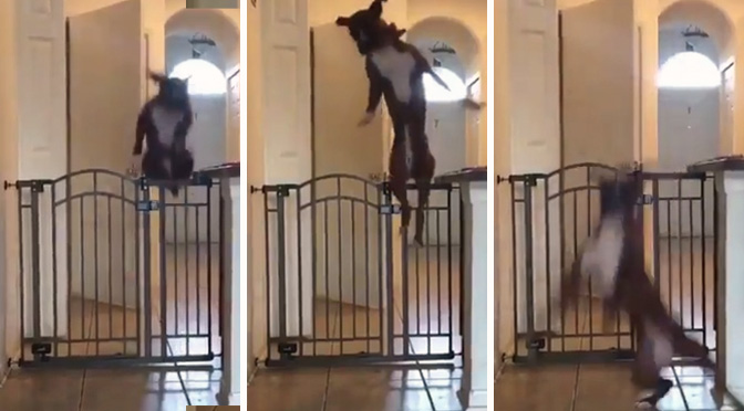 dog leaps baby gate