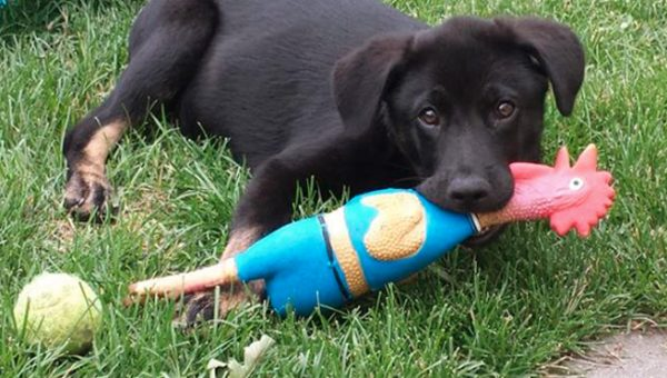 Watch and Laugh as Dogs Go Crazy over Rubber Chicken Toys [Video]