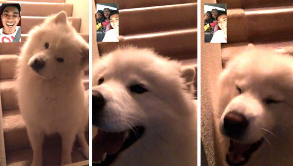 Do You FaceTime with Your Dog? This Samoyed LOVES It.