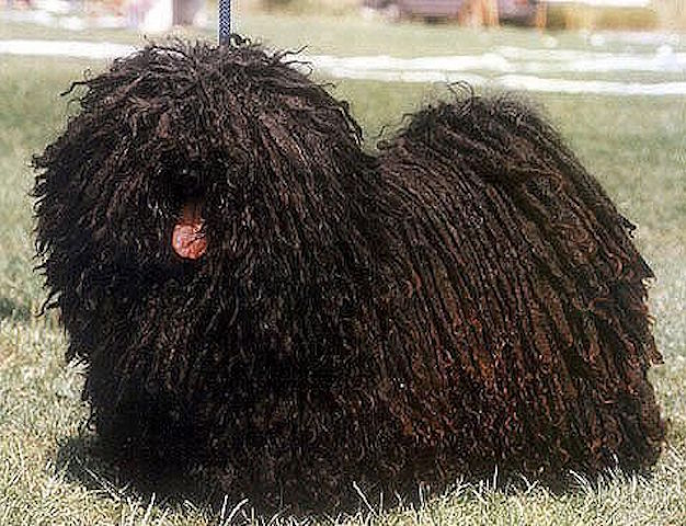 6 Dog Breeds With Dreadlocks And How That Even Works The Dog