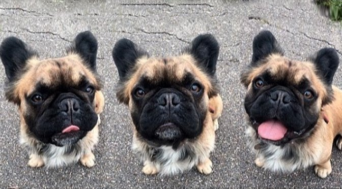 rare-long-haired-french-bulldogs