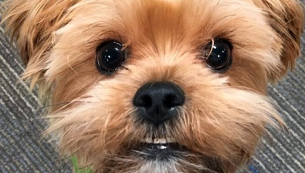 Shorkie, Morkie, Chorkie: Get Ready for the Irresistible Yorkie Mix Parade