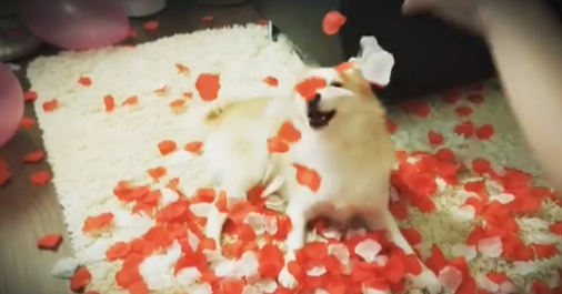 Pomsky Loves Getting Covered in Rose Petals in Sweet Little Video