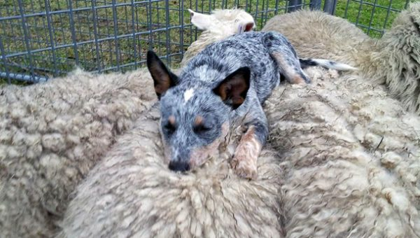8 Things You Didn't Know About Australian Cattle Dogs