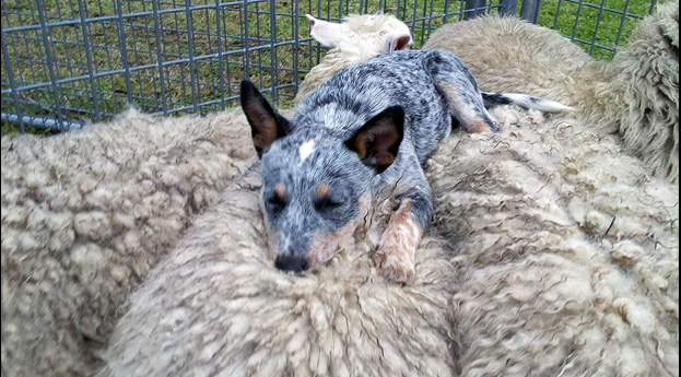 8 Things You Didn T Know About Australian Cattle Dogs