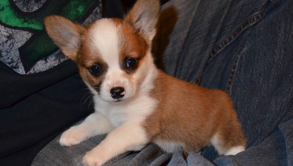 Cheagle, Chiweenie, Chug: 18 Cute Chihuahua Mixes You've Gotta See
