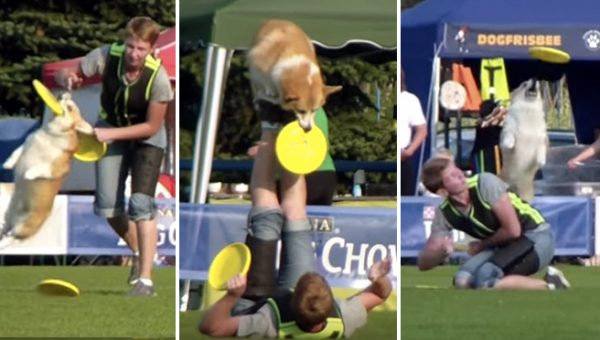 Aĺka the Corgi Frisbee Champ is Poetry in Motion