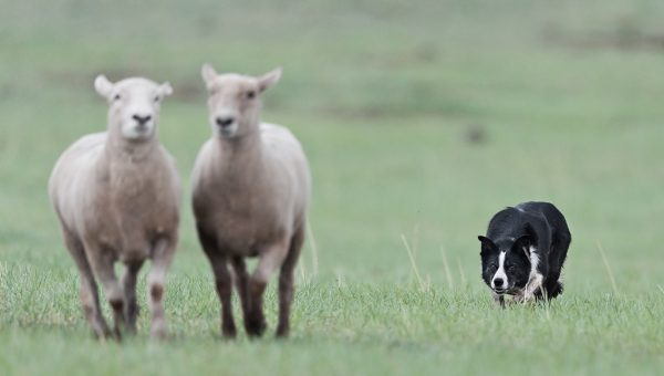 You Know You Have a Herding Dog When…