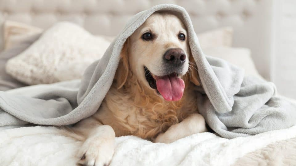 happy looking white lab on a bed under a blanket