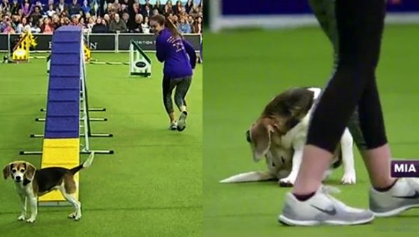 This Hilariously Distracted Agility Beagle is All of Us [Video]