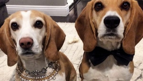 10 Dogs in Tuxedos Ready for Oscar Night