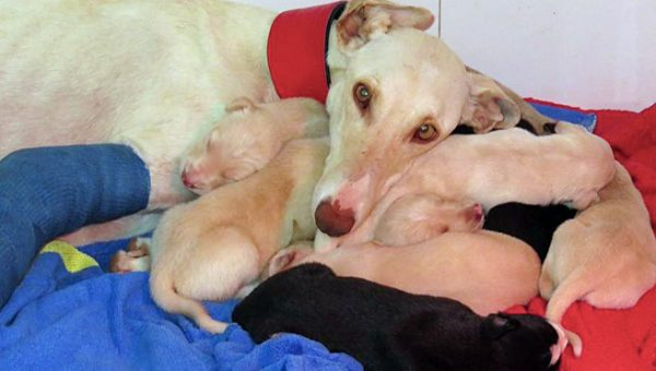 Greyhound with Broken Leg Leads Rescuers 2 Miles to Newborn Puppies