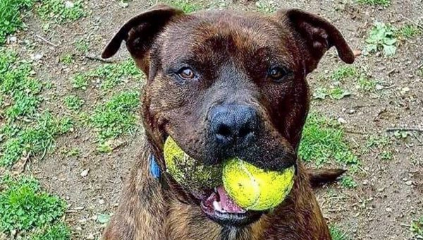 Friendly NY Dog Still Waiting for Adoption after 17 Months; Shelter Staff Are Baffled