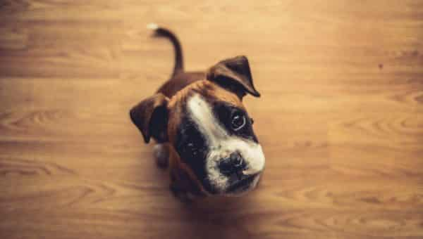 Boxer Puppies: Everything You Need to Know