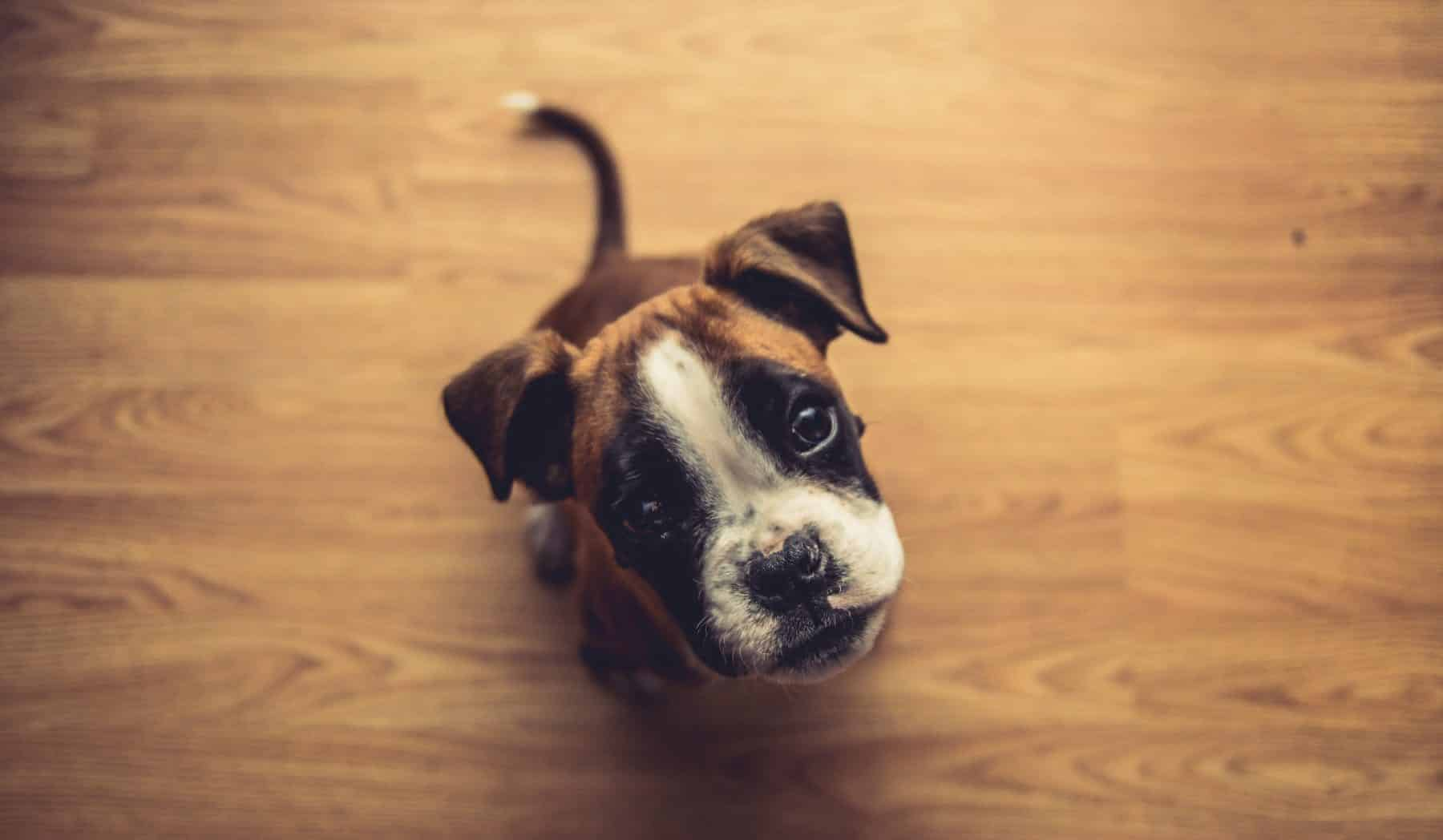 Boxer Puppies Boxer Dog Puppy Size Lifespan Personality And More