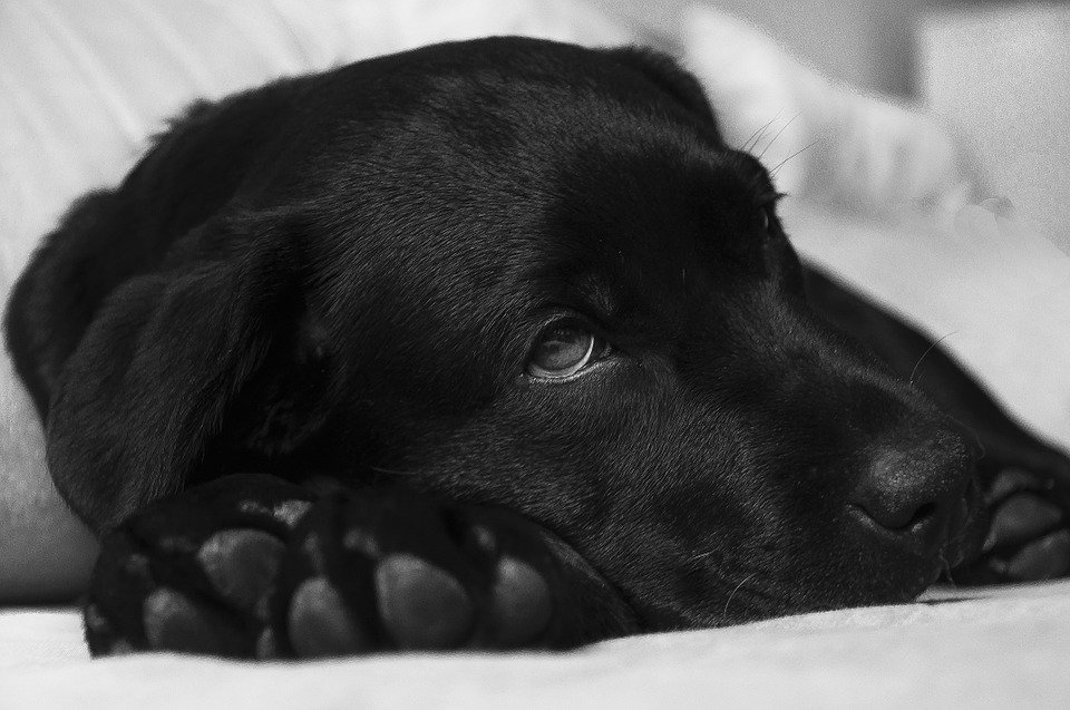 A black lab with dog diabetes rests on a bed