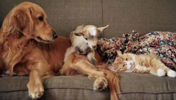 Golden Retriever is Mother of Goats