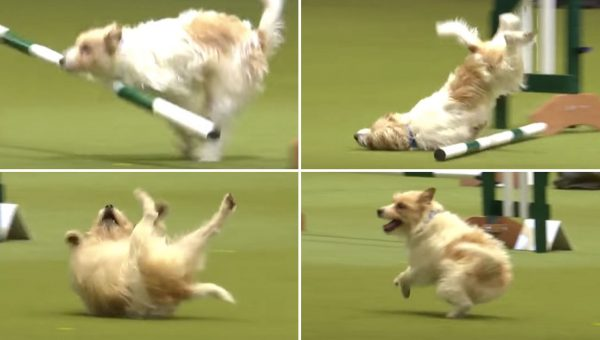 Adorably Bad Performance Makes This Jack Russell the True Winner at Crufts