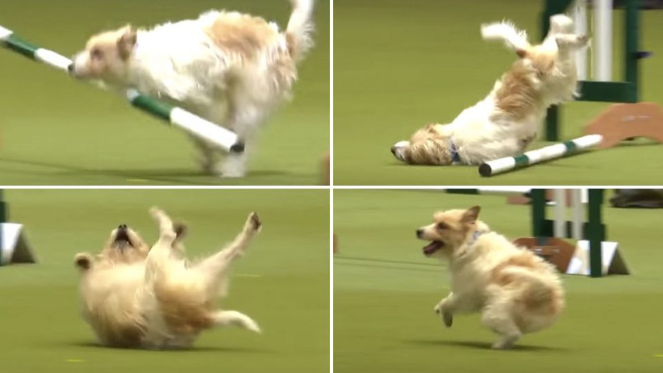 Adorably Bad Performance Makes This Jack Russell the True