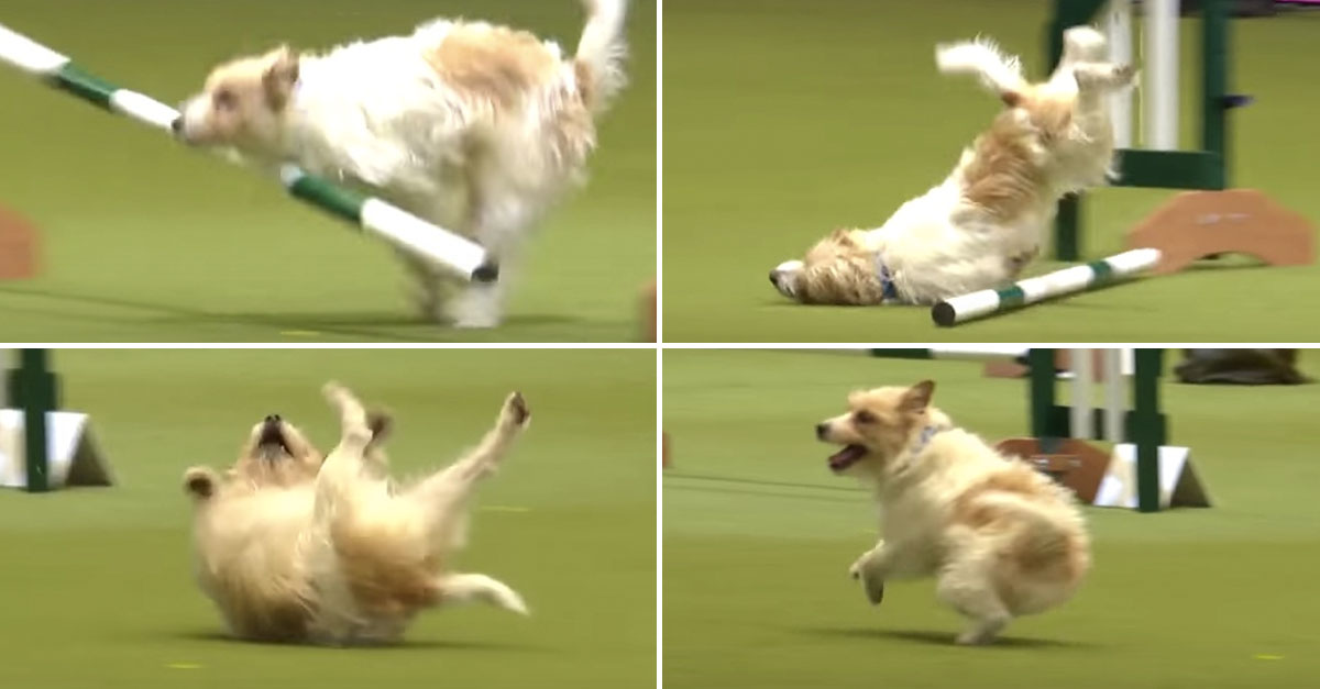 Hilarious Jack Russell Goes Crazy with Excitement at Crufts 2017!的圖片搜尋結果