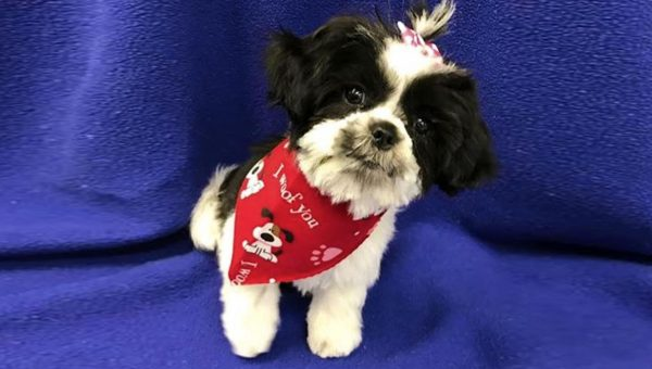 Shih Tzu Puppy's Adorable Meltdown has Groomer in Tears of Laughter