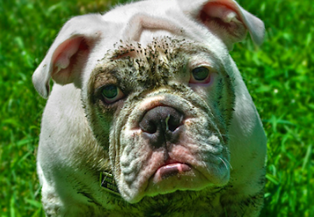 Wonderful Heavy Chubby Adorable Dog - sad-bulldog  Collection_963253  .png