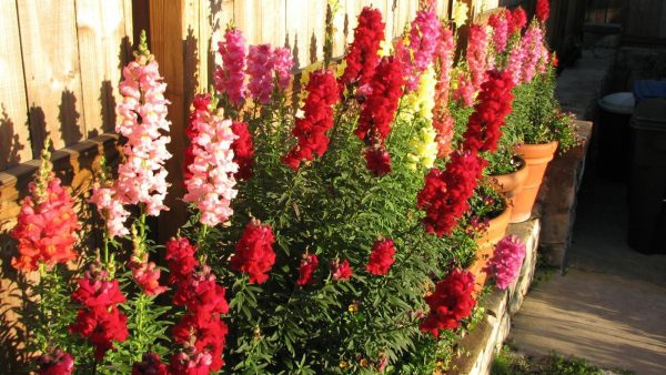 Everyone Loves A Snapdragon Patch Easy To Grow From Seed In Full Sun This Mix Produces Range Of Colors Yellow Red On Tall Stems