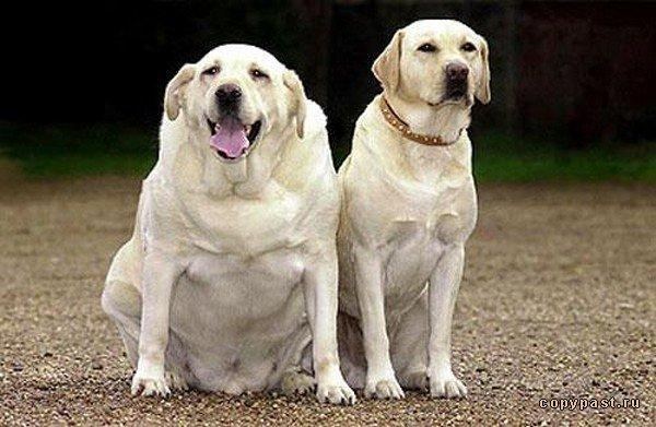 Image result for fat labrador dog