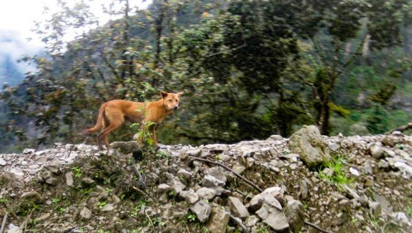 Wild Dogs Discovered in Mountains Were Thought to Be Extinct