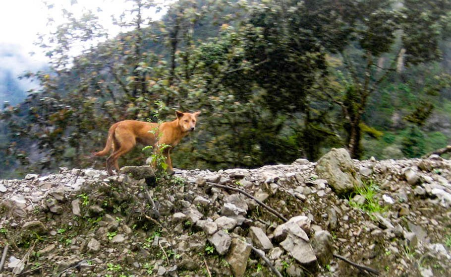 Wild Dogs Discovered In Mountains Were Thought To Be