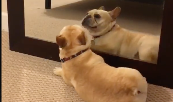 French Bulldog Sees Himself in the Mirror, Goes Bonkers