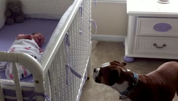 Boxer Dog Hears Newborn Baby Cry for the First Time in Heartwarming Video
