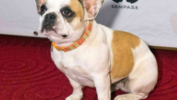 Famous 'Modern Family' Frenchie is Back in Starring Role for Rover's New Commercial