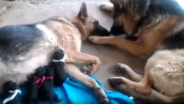 Dog Dad Gives Mom Kisses as She Feeds Their Newborn Puppies [Video]