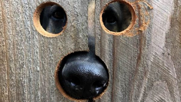 Neighbor Makes Curious Dog a Peekaboo Spot in the Fence [Video]